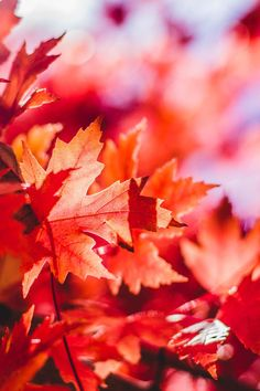 New free photo from Pexels: https://www.pexels.com/photo/photography-of-maple-leaves-38861/ #nature #leaves #autumn