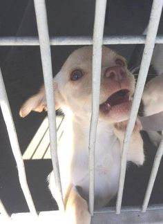 Poor crying baby in high kill shelter - #A471010 Release date: 8/20 I am a female, blonde Chihuahua - Smooth Coated and Dachshund min mix. Shelter staff think I am about 9 weeks old. I have been at the shelter since Aug 13, 2014.  PETHARBOR LINK: http://www.petharbor.com/pet.asp?uaid=SBCT.A471010 ... City of San Bernardino Animal Control-Shelter. https://www.facebook.com/photo.php?fbid=10203289558457310&set=a.10203202186593068&type=3&theater