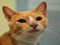 "Super Urgent - NYC ACC: HARU - ID#A1012556 Neutered male, cream & white DSH mix. I'm about 2 yrs old. Poor HARU was returned to the shelter for ""allergies"". HE's already NEUTERED and ready to go to a loving home. Look at his gorgeous golden eyes! Such a sweet face on this kitty! Grab this guy before he hits the kill list - you can go to the shelter to adopt him or you can contact one of our rescues to help you and have HARU transported to your door!Don't let this boy be overlooked!!"