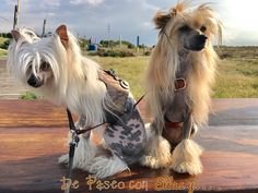 Chic fashion for pets Pet Boarding, Chinese Crested Dog, Sams, Dog Photos, Cousins, Cute, Nature, Animals, Stone Texture