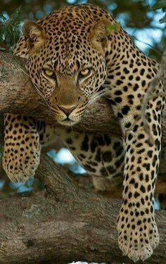 """Look at that Leopards face. It's just like """"i don't wanna deal with you today, so leave, before you become me dinner."""""""