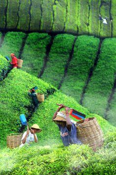 Tea Plantation, Bandung. Indonesia