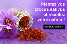 Découvrez notre fiche plantation pour planter vos crocus sativus et récolter…