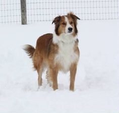 Amazing this dog looks just like Wrigley...English Shepherd / Farm Collie Dog
