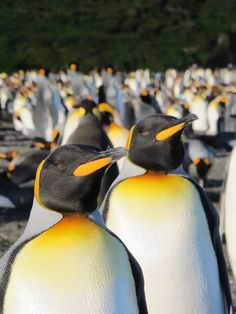 King Penguin Colony http://ow.ly/caw1a
