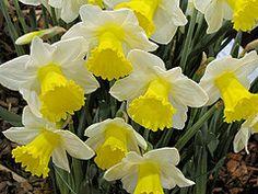 """Daffodil"" 2012 FlowerShow by George Lezenby"