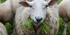 schaap with grasses