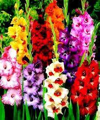 Recomandari Diverse: Gladiolele
