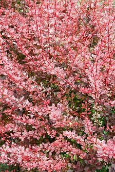 Berberis thunbergii 'Pink Queen' variegated barberry shrub