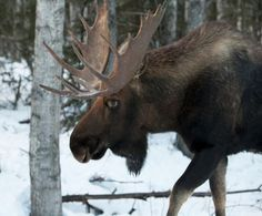 Drastic Moose die-off could be fault of climate change.  And hunting permits are still being given to hunt them....??  Why?