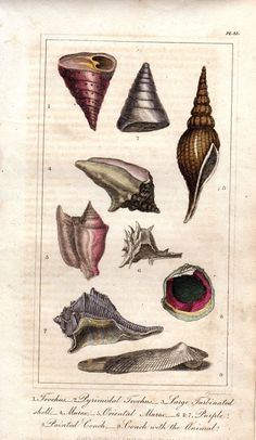 1828 Antique Shell Print Color Engraving By AntiquarianPrints 2000