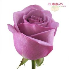 Cool Water lavender roses in economy size from Blooms By The Box are always in style and pair beautifully with all cream flowers. Modern Wedding Flowers, Purple Wedding Flowers, Lavender Flowers, Diy Flowers, Bulk Roses, Wholesale Roses, Floral Arch, Cream Flowers, Flower Arrangements