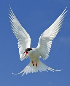 Out of the blue - arctic tern