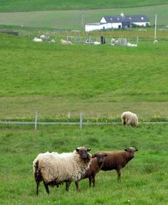 Sheep in the Scotland  countryside outside of a wool mill