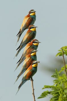 "emuwren: "" The European Bee-eater - Merops apiaster, is a near passerine bird. It breeds in southern Europe and in parts of North Africa and western Asia. Photo by Norbert Schipany. Pretty Birds, Beautiful Birds, Animals Beautiful, Cute Animals, All Birds, Little Birds, Love Birds, Angry Birds, Wild Life"