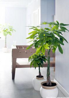 Decoratieve en luchtzuiverende kleine bomen voor in de huiskamer: 'easy care' planten. Bestel op bloempotke.be