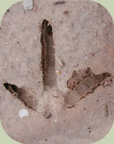Wild Turkey footprints....found these on Momma's grave.....she would have liked that!  :-)  Miss you Momma!