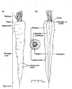 World Carrot museum - Description of Carrot Root