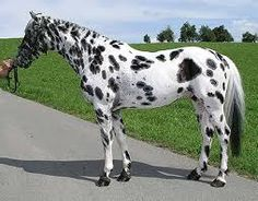 Image result for history of knabstrupper horses