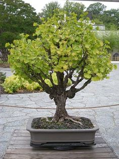 Photo du bonsai : Ginkgo (Ginkgo biloba)