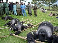 gorila caça africa - Pesquisa Google