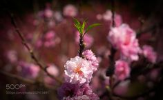 Pinkish by Osmar