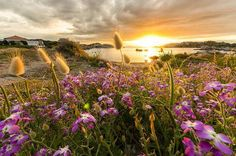 sunrise-on a shore by gorgeous purple wildflowers.Wish I was walking by there!! Wild Flowers, Purple Wildflowers, Beautiful Pictures, Beautiful Flowers, Hd Wallpaper, Sunset Wallpaper, Nature Wallpaper, Cougar Dating, Young Men