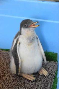 ペンギンの赤ちゃん、17日から公開 那須どうぶつ王国|下野新聞「SOON」