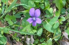 Violet, Cades Cove, TN (My Own)