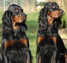 Gordon Setter Dogs - just look at those faces.