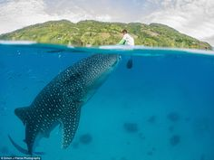 Simon Pierce grew up besotted with wildlife and and now spends a lot of his time with whale sharks, the largest fish in the sea