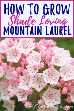 Shade Loving Shrubs, Shade Shrubs, Shade Perennials, Shade Plants, Laurel Bush, Big Flowers, Spring Flowers, Beautiful Flowers, Gardens
