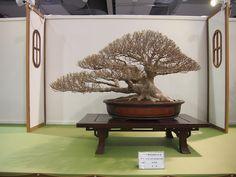 Taiwanese Bonsai Exhibition 2011