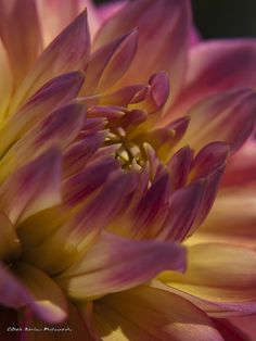 Dahlia. Yellow cenTer with purple outer