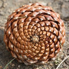 pine cone with 13 spirals to the right and 8 to the left, a progression of Fibonacci numbers and the Golden Spiral.