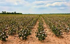 King Cotton! At one time Natchez, Mississippi had 500 millionaires second only to New York City.