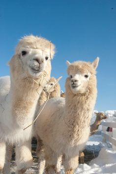 12 interesting facts about Alpacas that you probably did not know! Alpaca Funny, Cute Alpaca, Funny Llama, Happy Animals, Farm Animals, Animals And Pets, Funny Animals, Cute Animals, Alpacas