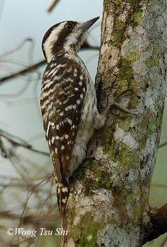 Sunda Pygmy Woodpecker: Brunei/ Indonesia/ Malaysia/ Singapore also i found this at U.P. Diliman Philippines