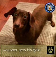 GOLD PAW UPDATE - WAGONER  We have some exciting news for Wagoner fans this morning. This little guy has found his forever home. You may remember that Wagoner needed emergency neck surgery and had a tough journey back to good health, but he did great and thanks to your support was able to have his surgery and PT and is now in a new loving home that will hold him in their hearts forever!