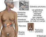 Las glándulas endocrinas segregan hormonas en la sangre para ser transportadas a diversos órganos y tejidos en todo el cuerpo. El páncreas segrega insulina para regular los niveles de azúcar en la sangre.