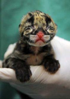 Endangered Clouded Leopard cub