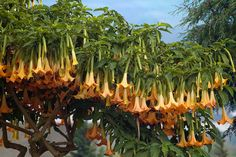 Flowering orange angel's trumpets (Brugmansia suaveolens) on the slopes of the Dieng Volcanic Complex. Rare Plants, Exotic Plants, Angel Trumpet Plant, Trumpet Lily, Decoration Plante, Trumpets, Cactus Y Suculentas, Small Trees, Flowering Trees