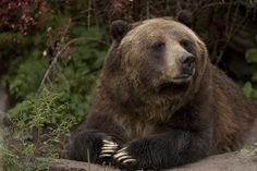 Grizzly bears could soon be pushed closer to extinction by hunters using silencers if Republican lawmakers have their way. Allowing the use of silencers on public lands to hunt these magnificent and threatened creatures is unacceptable. Sign this petition to demand that hunters not be allowed to use silencers to kill wildlife.