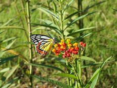 The Butterfly Garden in Moratuwa Beautiful Butterflies, Sri Lanka, Conservation, Nature, Butterfly, Garden, Plants, Garten, Lawn And Garden