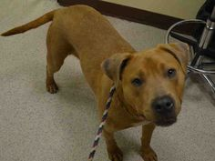 RETURNED 10/03/15 OWNER SICK --- SAFE 5-4-2015 --- Manhattan Center FRANK – A1035190 MALE, BROWN, STAFFORDSHIRE MIX, 1 yr STRAY – EVALUATE, HOLD FOR ID Reason STRAY Intake condition EXAM REQ Intake Date 05/03/2015