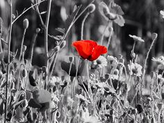 #forthefallen #remembranceday #poppy #blackwhitephotography #art #hemp #mahmutlar #red #redflower #poppyseeds #alanya #mahmutlar #alanya