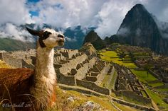 Machu Picchu is the top attraction in Peru, but the llamas are the cutest part of it. Discovered by The Planet D at Machu Picchu, Peru Machu Picchu, Places To Travel, Places To See, Peru Travel, Bolivia, South America, Latin America, Central America, Ecuador