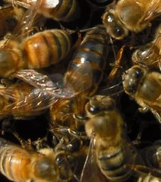 The queen surrounded by her court, by Yours Truly - from http://farmerbillohio.com/drupal7/content/small-scale-queen-rearing