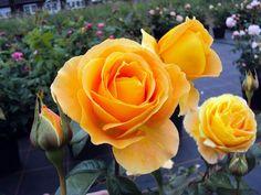 Edelrose Candlelight ®, 17,95 €, Traumrosen - Traumhafte Rosen für Ihren Garten Kordes Rosen, Rose Foto, Hybrid Tea Roses, David Austin, Peach, Plants, Stark, Salmon, Daddy