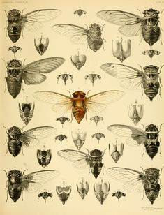 Monograph of Oriental Cicadidae, by William Lucas Distant (1845–1922). Printed by West, Newman & Co, London, 1889-92